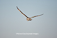 01113-009.13 Short-eared Owl (Asio flammeus) in flight at Prairie Ridge State Natural Area, Marion Co., IL