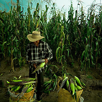 Mexico's traditional corn farming