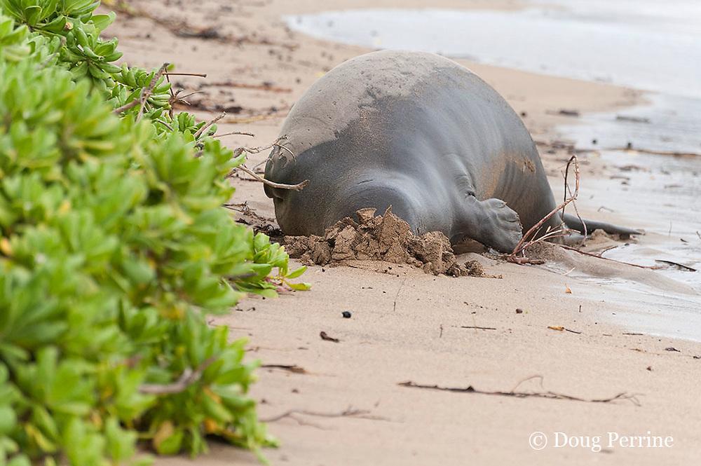 Hawaiian monk seal, Monachus schauinslandi, Critically Endangered endemic species, adult female resting on beach buries head in sand,  Canoe Beach, Kaanapali, Maui, Hawaii ( Central Pacific Ocean )