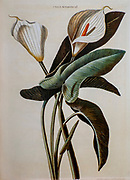 Coloured Copperplate engraving of a Zantedeschia aethiopica (calla lily or arum lily) from hortus nitidissimus by Christoph Jakob Trew (Nuremberg 1750-1792)