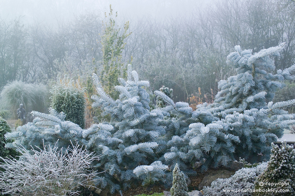 Abies concolor 'Violacea' - Silver fir in winter. Pruned to encourage spreading habit in John Ashwood's garden in winter