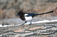 Black-billed Magpie (Pica hudsonica), Inglewood Bird Sanctuary, Calgary, Alberta, Canada   Photo: Peter Llewellyn