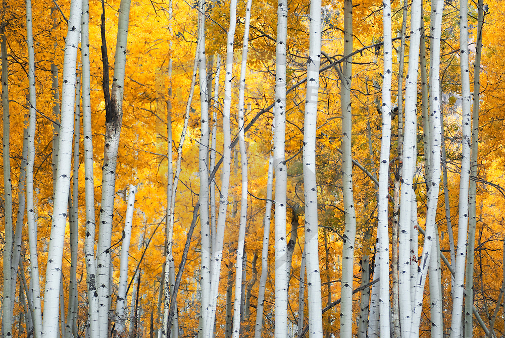 near the mountain town of durango in the san juan range of the colorado rocky mountains, autumn brings golden light and yellow leaves to the aspen stands, making this region of the four corners a popular travel and tourist destination.