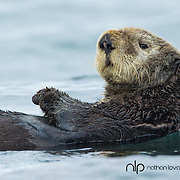 Sea otter swimming on back in blue water;  Homer Alaska in wild.