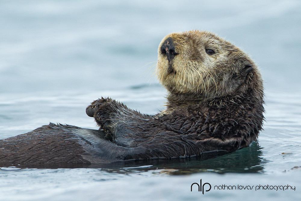 Sea otter swimming on back in blue water;  Homer Alaska in wild.