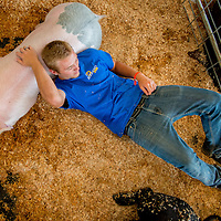 Wyatt Cromer, 17, of Serrano FFA takes a break resting on a Blue-Butt named Pork Chop on the opening day of the San Bernardino County Fair in Victorville, Saturday, May 24, 2014.  (Eric Reed/For The Sun)