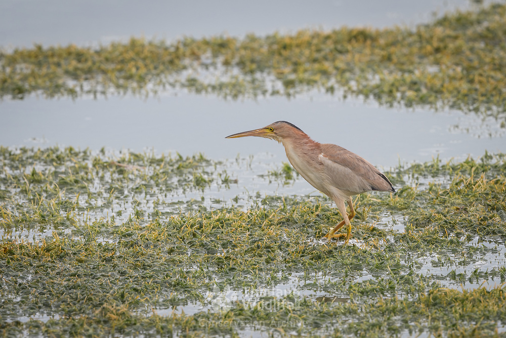 Yellow bittern (Ixobrychus sinensis) in Khao Sam Roi Yot National Park, Thailand. Bitterns are a classification of birds in the heron family of Pelican order of wading birds. Species named bitterns tend to be the shorter-necked, often more secretive members of this family.