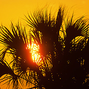 Palmetto at sunrise. Merrit Island National Wildlife Refuge. Florida