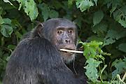 Chimpanzee<br /> Pan troglodytes<br /> Adult male feeding on terrestrial herbaceous vegetation<br /> Tropical forest, Western Uganda
