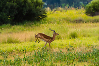 Impala running, near Kwara Camp, Okavango Delta, Botswana.