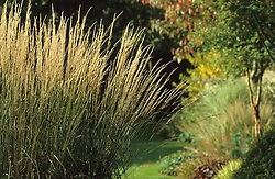 Calamagrostis x acutiflora 'Karl Foerster' at Glen Chantry