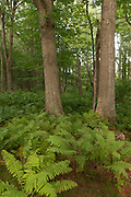 Ferns and maple trees at Appleton Farms & Grass Rides, Ipswich, MA