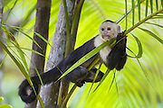 White-faced Capuchin<br /> Cebus capucinus<br /> Resting in palm tree<br /> Osa Peninsula, Costa Rica