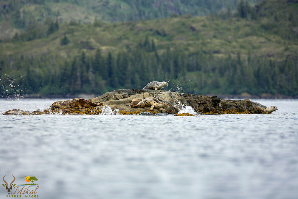 Harbor seals resting on rocks at haul-outg