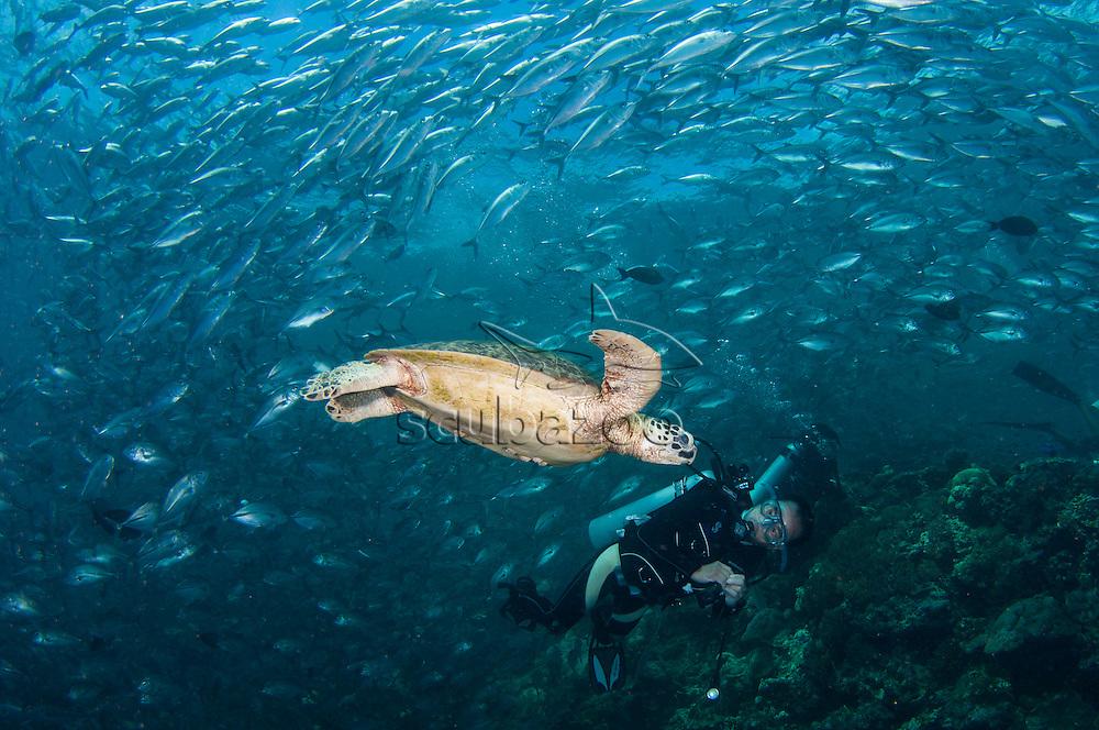 A Green Turtle, Chelonia mydas, swimming amongst a school of Big-Eye Trevally, Caranx sexfasciatus, with 3 divers in the background, Sipadan Island, Sabah, Malaysia.