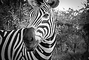 Zebra  up close and personal in B&W. Hluhluwe-Imfolozi Game Reserve, KwaZulu-Natal province of South Africa.