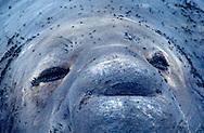 USA, Vereinigte Staaten Von Amerika: Nördlicher See-Elefant (Mirounga angustirostris), Porträt, close-up eines See-Elefantenbullen, Augen und Körper besetzt mit Fliegen, Strand direkt neben California State Route 1, San Simeon, Kalifornien | USA, United States Of America: Northern Elephant Seal (Mirounga angustirostris), portrait, close-up of a bull elephant seal, eyes and body full with flies, beach directly next to Cabrillo Highway 1, San Simeon, California |