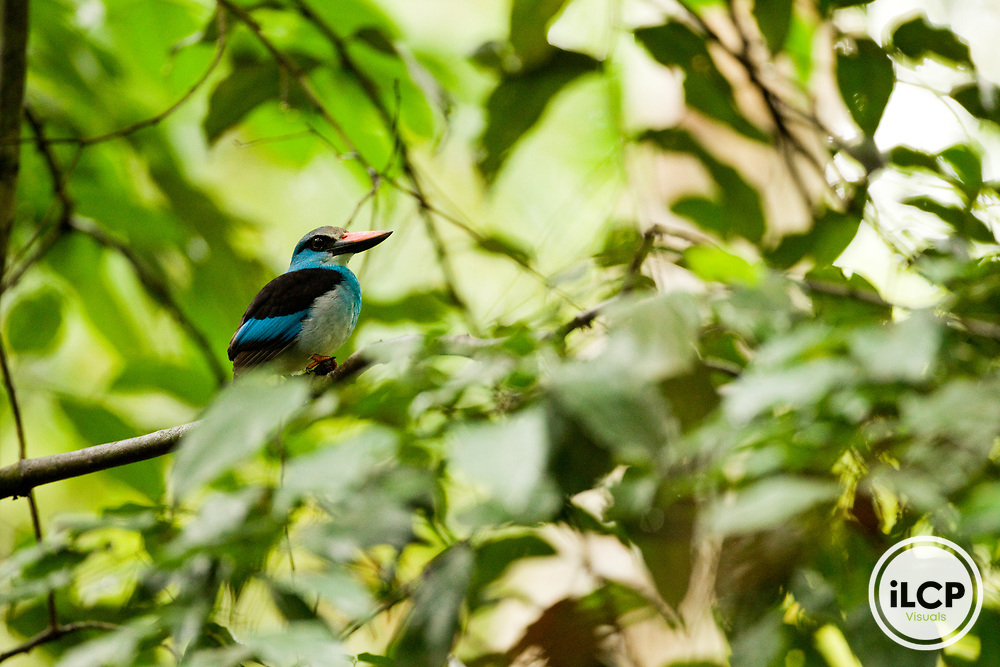 Blue-breasted Kingfisher (Halcyon malimbica), Lope National Park, Gabon