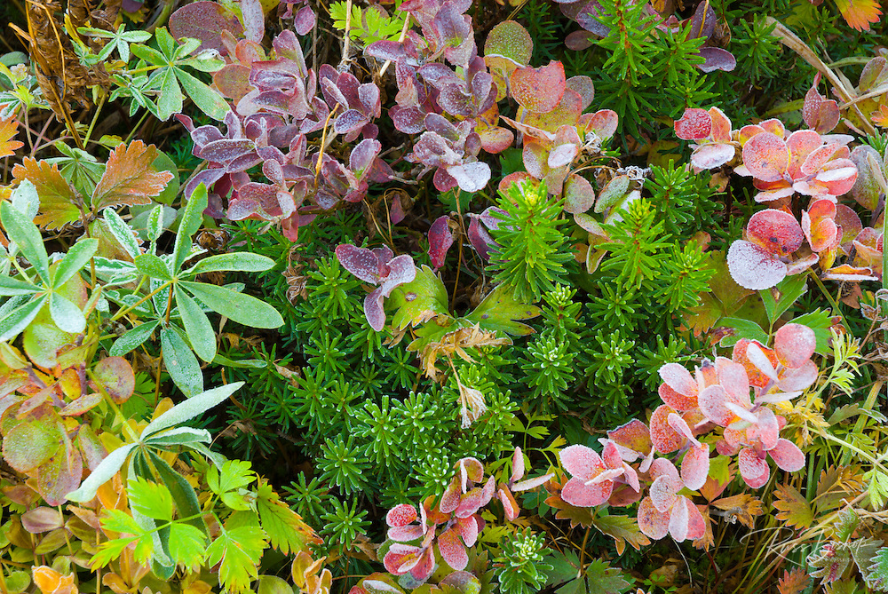 Fall groundcover, Mount Rainier National Park, Washington