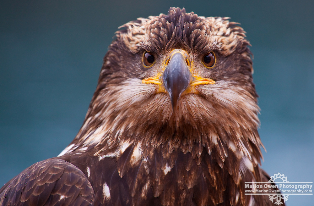 Portrait of immature bald eagle