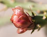 Pencil cholla flower.