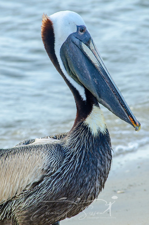 A brown pelican stands on the beach near the Bayou La Batre State Docks June 17, 2013. (Photo by Carmen K. Sisson/Cloudybright)
