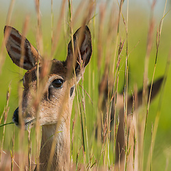 Dikdik is eating grass and staring in the camera from behind the bush, Queen Elizabeth National park, Uganda.