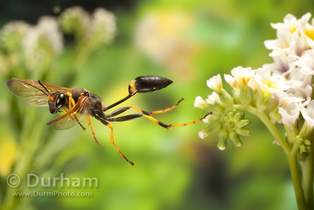 A black and yellow mud dauber wasp (Sceliphron caementarium) flying off of a Salt heliotrope (Heliotropium Curassavicum) flower. Photographed in the high-desert of Washington, at The Nature Conservancy's Whisper Lake Preserve.