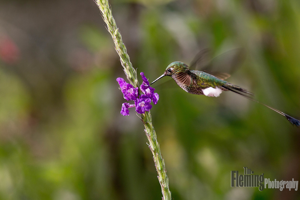 Booted racket-tail in the Tandayapa Valley, Ecuador