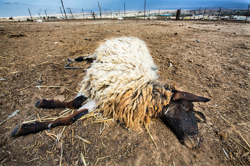 A dead sheep that had lived through the bulldozing of a pen that killed over 30 other sheep, only to die the next day from its injuries in the camp at Jiftlik. Dec. 4, 2013. West Bank, Palestinian Territories. (Photo by Gabriel Romero/Alexia Foundation ©2014)
