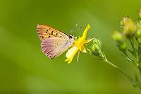 Lycaena n. nivalis (Lilac-bordered Copper) ♂ at Quaking Aspen, Tulare Co, CA, USA, on Slender cinquefoil 09-Jul-17