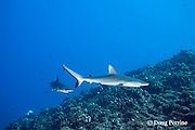 juvenile gray reef sharks, Carcharhinus amblyrhynchos, at The Keyhole dive site, Lehua Rock, near Niihau, off Kauai, Hawaiian Islands, USA ( Central Pacific Ocean )