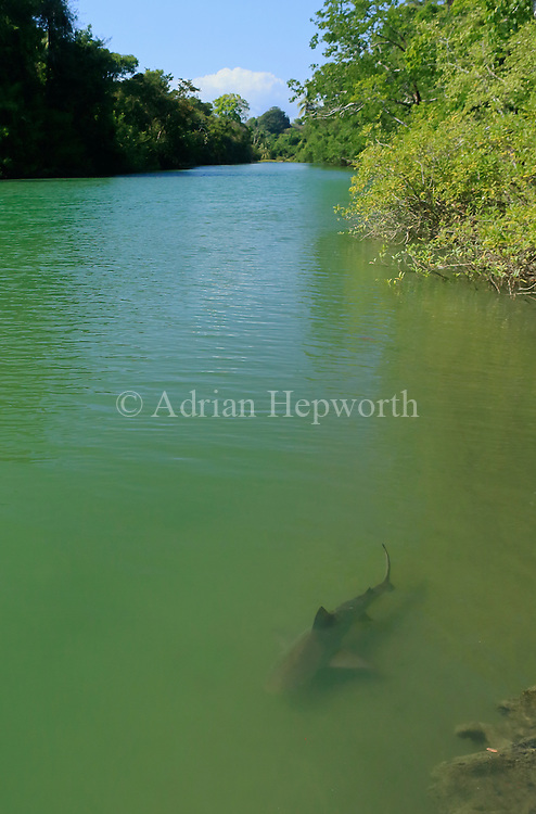 Bull shark (Carcharhinus leucas) in Sirena River, Corcovado National Park, Osa Peninsula, Costa Rica. <br />