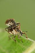 (Nedyus maculatus) Rüsselkäfer (Curculionidae)