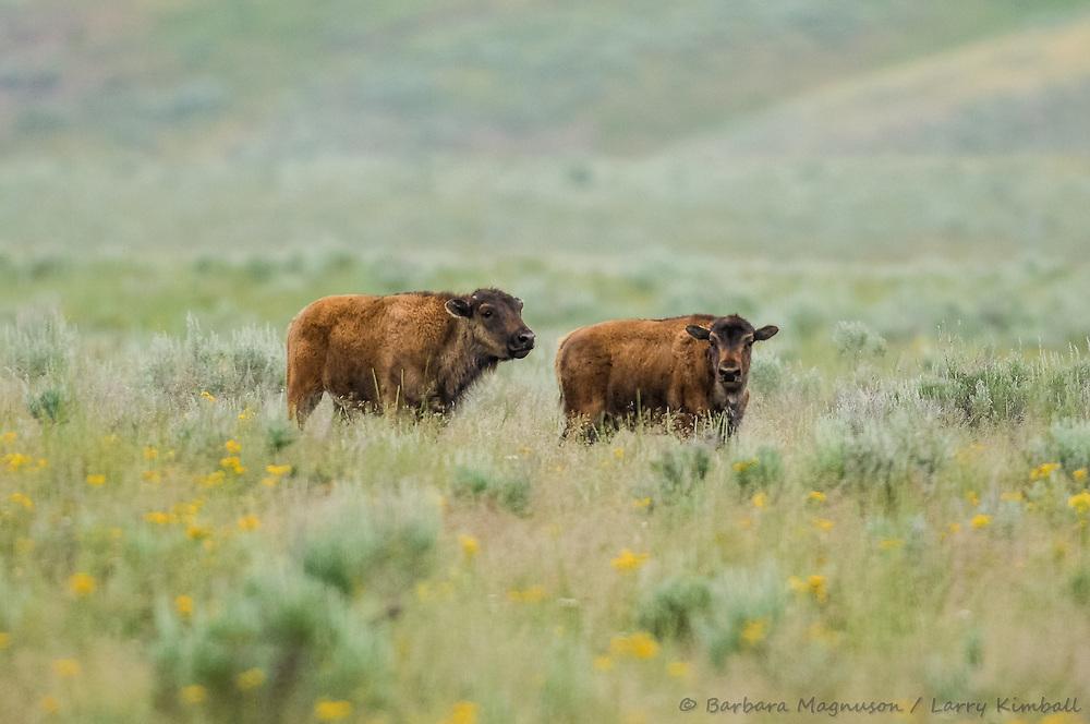 Bison [Bison bison] during the rut (breeding) season; Yellowstone NP., WY