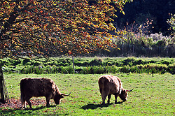 © Licensed to London News Pictures. 11/10/2016<br /> Sunny Autumn Kent weather today in Eynsford in Kent.<br /> Long Horn Bull Eynsford.<br /> <br /> Photo credit :Grant Falvey/LNP
