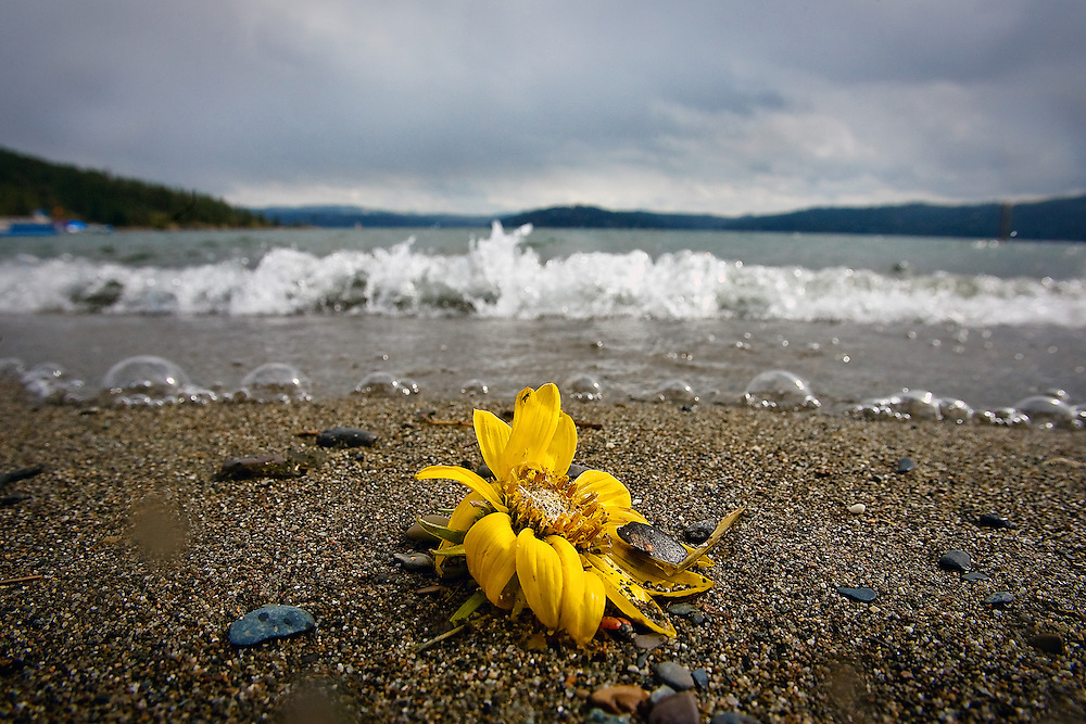 A sunflower sits at the edge of City Beach in Coeur d'Alene, Idaho as a storm blows in from the west Tuesday, April 29, 2008.