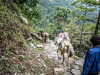 Mules carrying loads of goods are a commons sight along the Annapurna trail in Nepal.