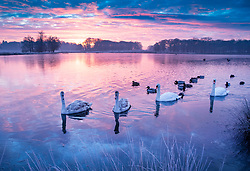 © Licensed to London News Pictures. 24/01/2019. London, UK. Swans and signets paddle on Pen Ponds in Richmond Park, West London on a cold winter morning, as temperatures across the UK drop dramatically. Some parts of the UK are expecting snowfall following a spell of low temperatures. Photo credit: Peter Macdiarmid/LNP