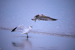 Two Gulls Argue over Food at Wrightsville Beach