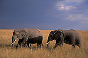 Elephants walks threw the high Savannah grass.