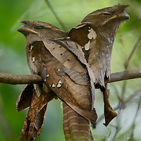 Endemic to the mountains of northern Borneo, the rare and secretive Dulit Frogmouth (Batrachostomus harterti) is known from only a handful of specimens and sight records. Like other frogmouths it is a nocturnal insectivore and by day sleeps motionless on a branch disguised as a cluster of dead leaves.
