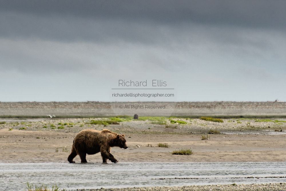 A grizzly bear boar walks along the lower lagoon at the McNeil River State Game Sanctuary on the Kenai Peninsula, Alaska. The remote site is accessed only with a special permit and is the world's largest seasonal population of brown bears.