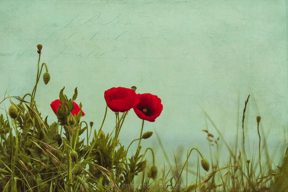 Poppies in the dunes - textured photograph