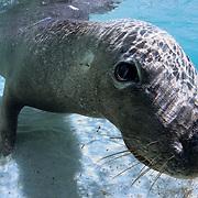 Australian Sea Lion (Neophoca cinerea) resting in shallow water at Carnac Island in Western Australia
