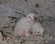 Nestling peregrine falcons, 7 days old, resting in eyrie cave with unhatched egg and a few eggshell fragments. © 2013 David A. Ponton