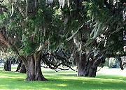 Ancient oaks with Spanish Moss, Jekyll Island, Georgia.