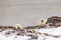 Curious polar bear cubs, Nunavut, Canada