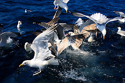 UK ENGLAND CORNWALL SENNEN COVE 11JUN08 - Seagulls scramble around a fishing boat awaiting their catch of fishguts, off Sennen Cove, Cornwall, England.. . jre/Photo by Jiri Rezac / WWF UK. . © Jiri Rezac 2008. . Contact: +44 (0) 7050 110 417. Mobile:  +44 (0) 7801 337 683. Office:  +44 (0) 20 8968 9635. . Email:   jiri@jirirezac.com. Web:    www.jirirezac.com. . © All images Jiri Rezac 2008 - All rights reserved.
