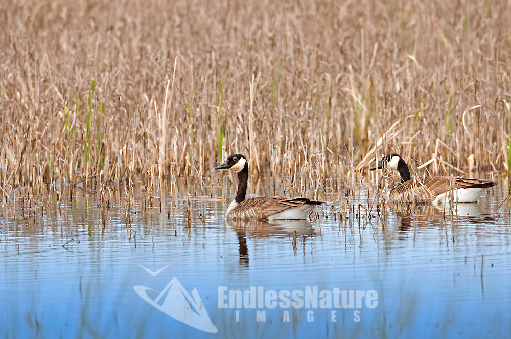 An April Canadian goose pair feeds in a local wetland marsh.